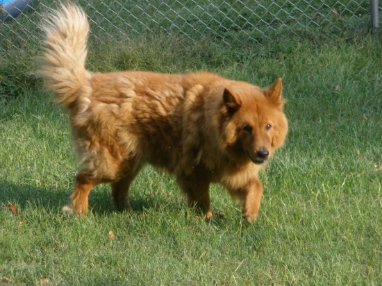 Chow-Chow-and-Golden-Retriever-Mix-Happy