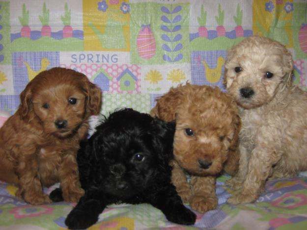 Cockapoo-puppies