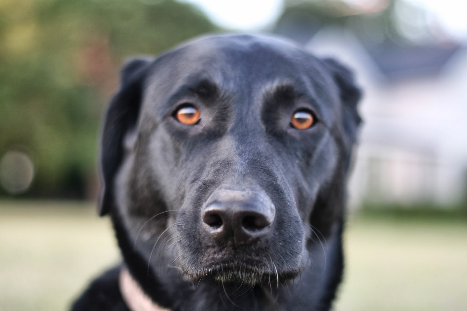 German Shepherd Black Lab Mix