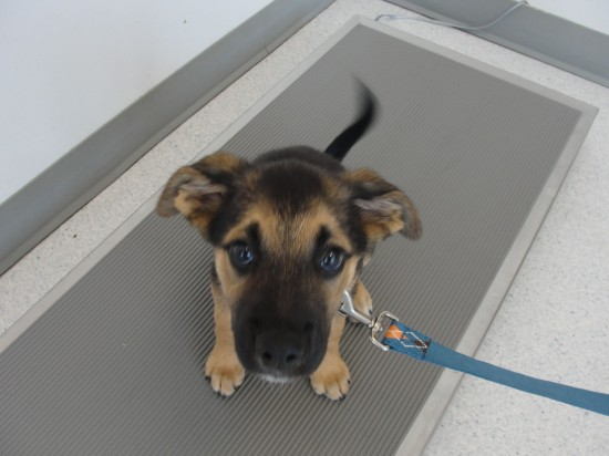 German-Shepherd-and-Lab-Mix-Not-Guilty