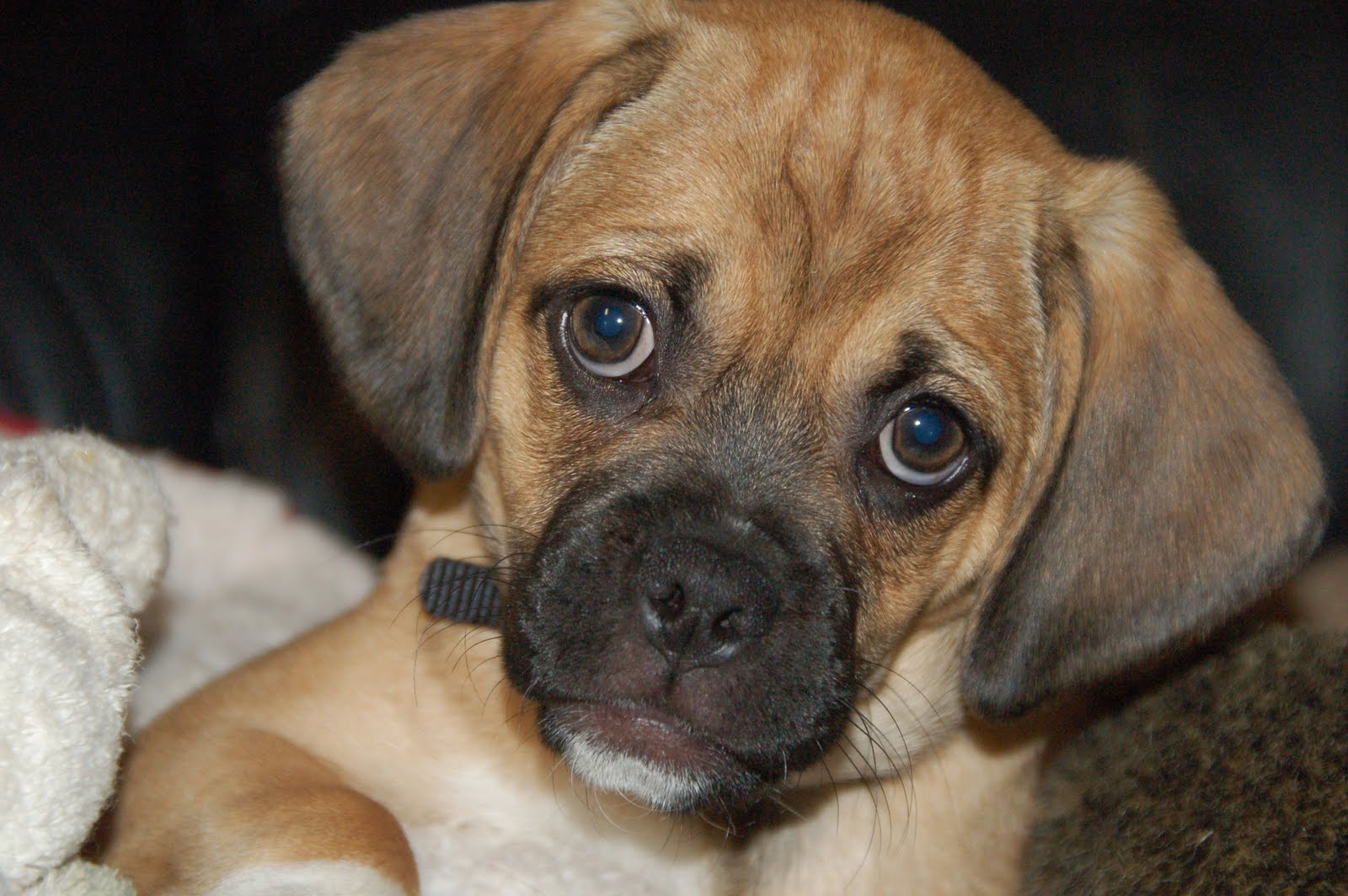 This entry was posted in Beagle Mix , Pug Mix . Bookmark the permalink ...