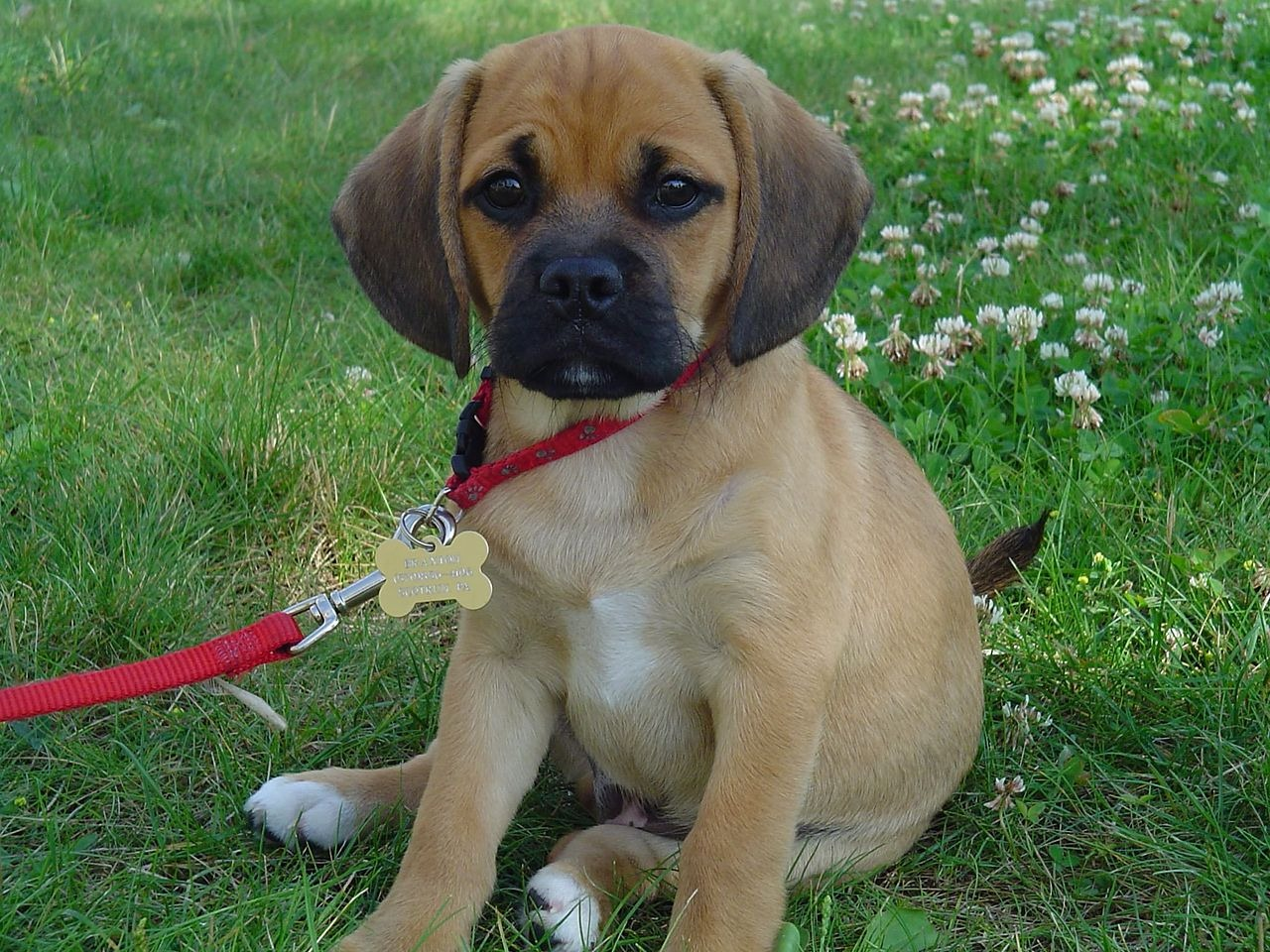 Finally, check out this adorable puggle puppy. Adorable isn't he?