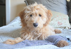 Golden-Retriever-Poodle-Hybrid