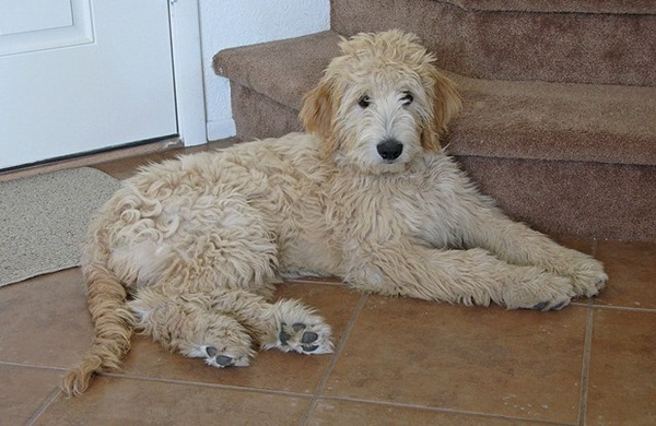 Goldendoodle-Dog