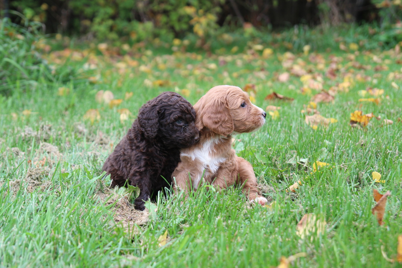 labradoodle labrador retriever and poodle mix - HD 1280×853
