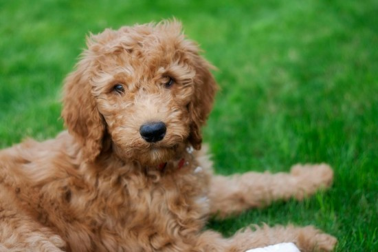 Goldendoodle-Golden-Retriever-Poodle-Mix-Cute-Puppy