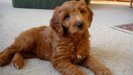 Goldendoodle-Golden-Retriever-Poodle-Mix-Relaxing