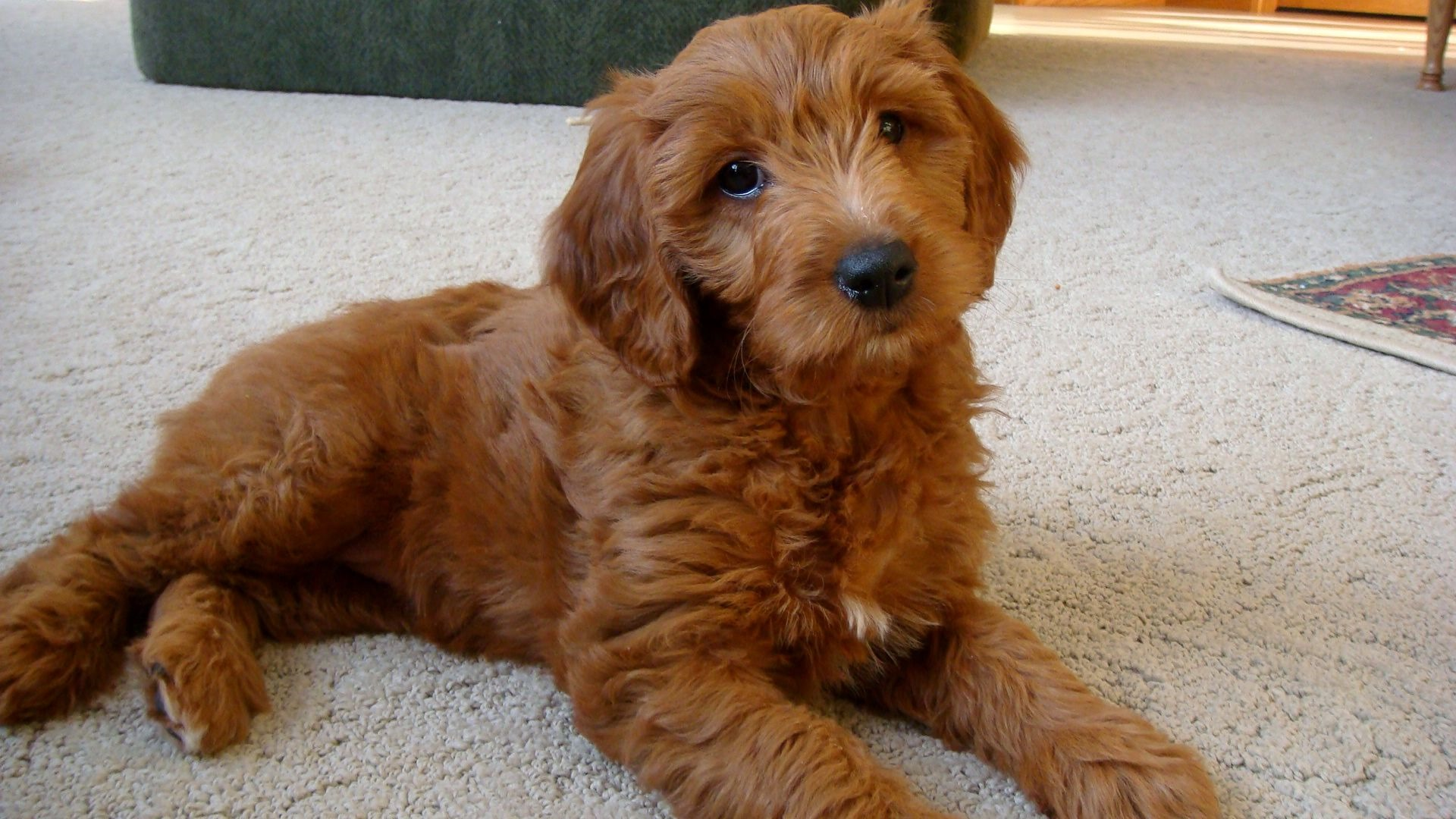 This entry was posted in Golden Retriever Mix   Poodle Mix   Bookmark    F1b Apricot Goldendoodle