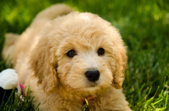 Goldendoodle-Golden-Retriever-Poodle-Mix-Sad-Puppy