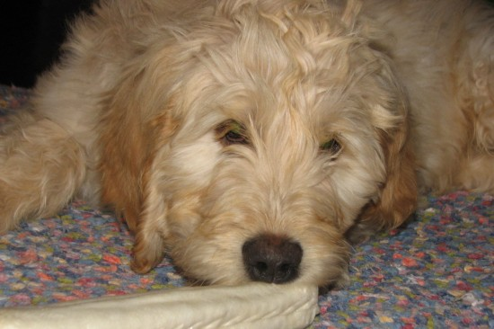 Goldendoodle-Golden-Retriever-Poodle-Mix-Sleepy