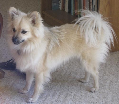 Husky And Pomeranian Mix Images & Pictures - Becuo