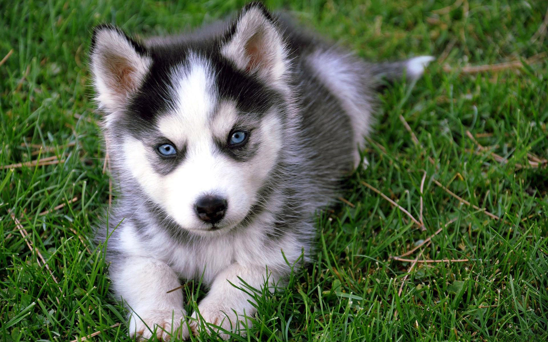 Pomsky-Pomeranian-and-Husky-Mix-Cute-PuppyCute Black Pomeranian Puppy Pictures