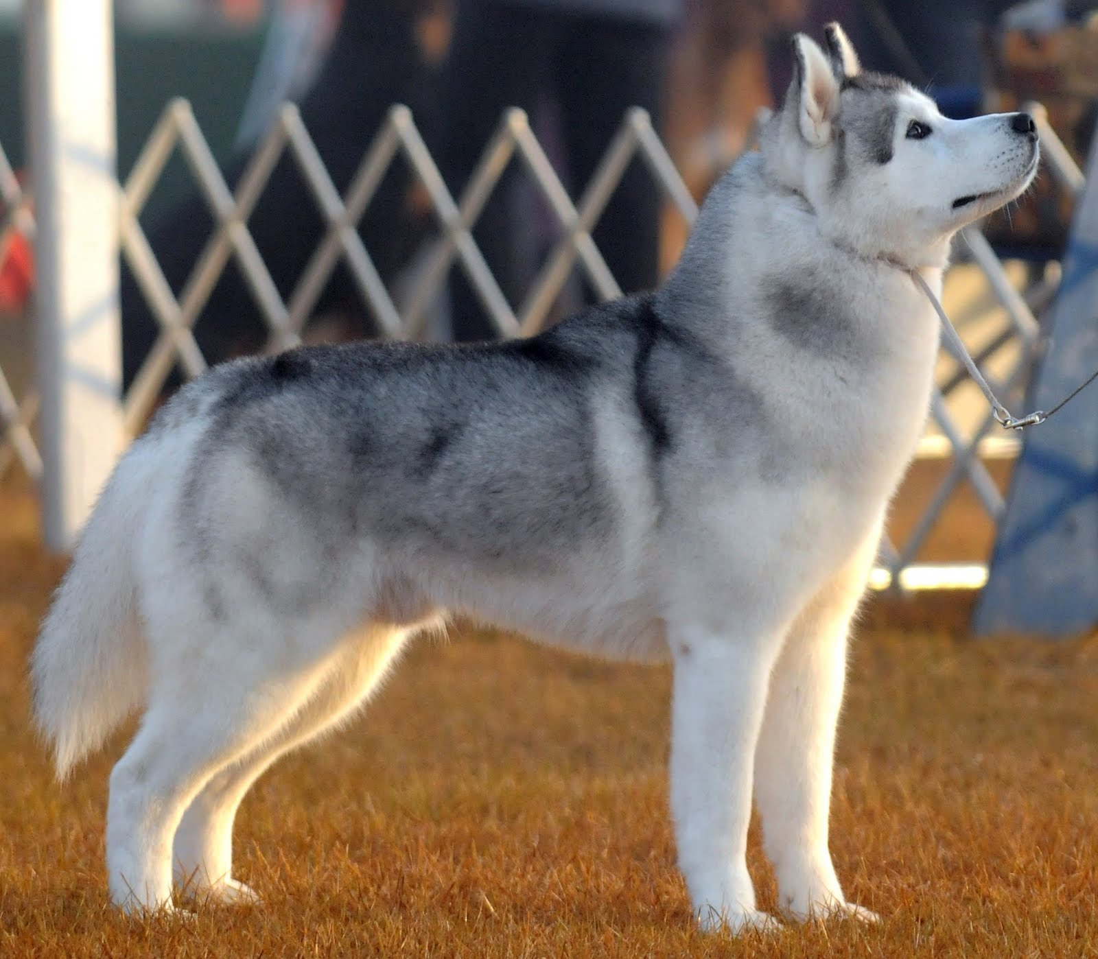 The Siberian Husky is a beautiful dog breed with a thick coat that comes in a multitude of colors and markings. Their blue or multi-colored eyes and striking facial masks only add to the appeal of this breed, which originated in Siberia.
