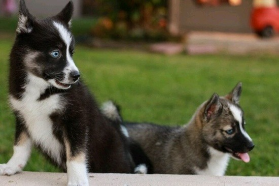 Pomsky-Puppies