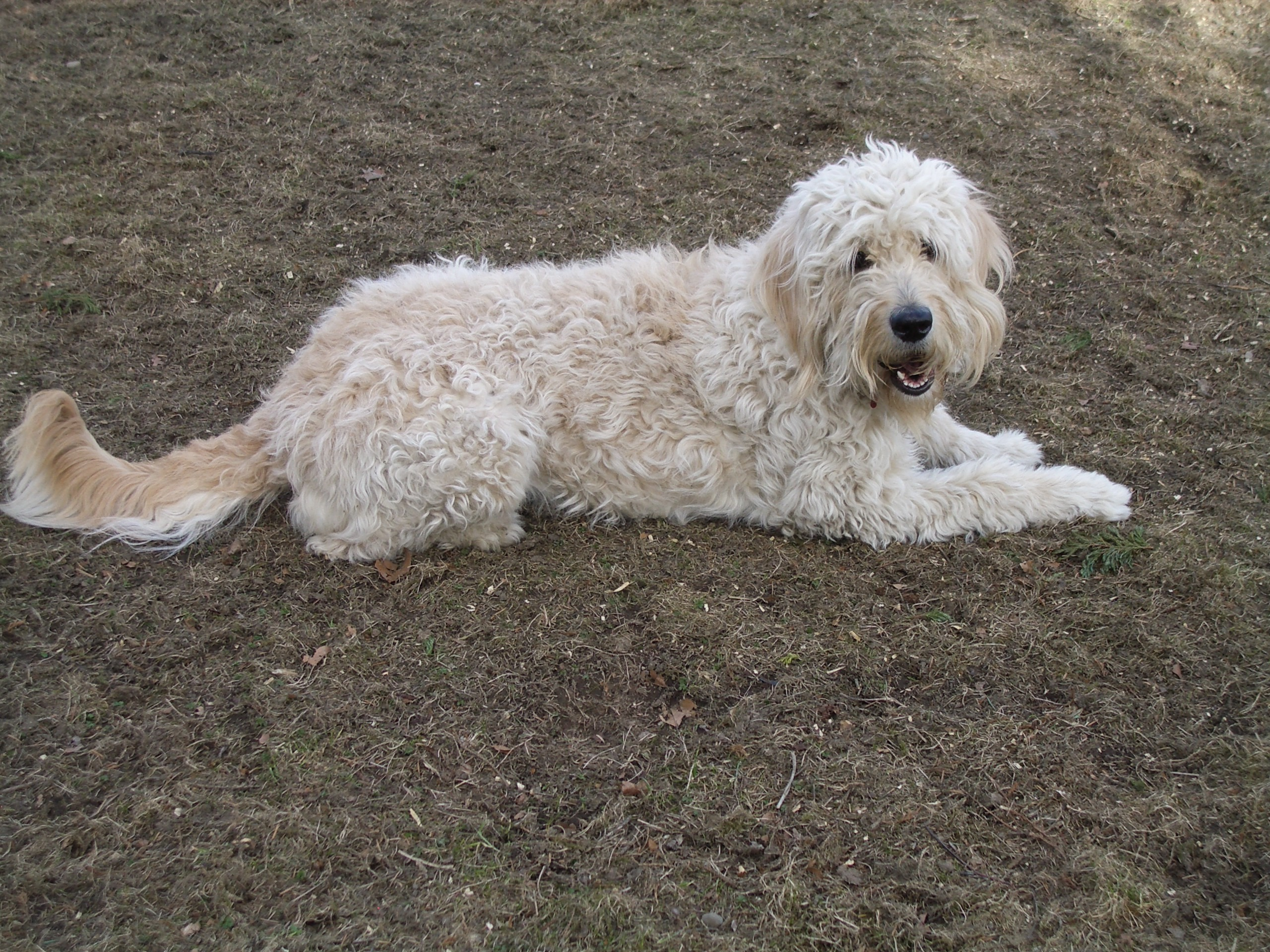 ... in Labrador Retriever Mix , Poodle Mix . Bookmark the permalink