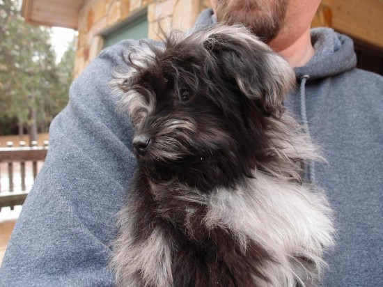 Aussiedoodle-Australian-Shepherd-Poodle-Mix-Little-Puppy