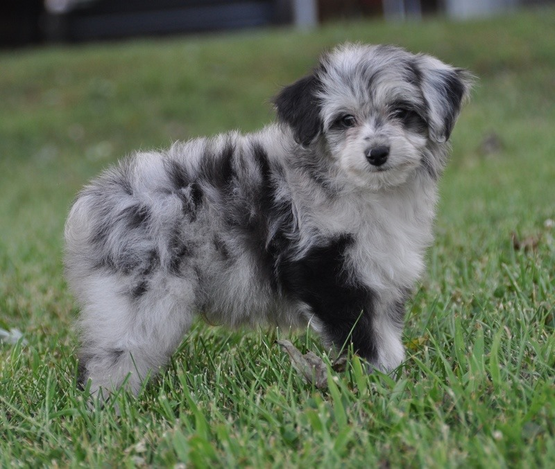 The size of an aussiedoodle can vary depending on the sizes of the ...