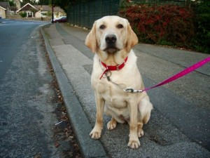 Golden-Labrador-mixed-breed-dog