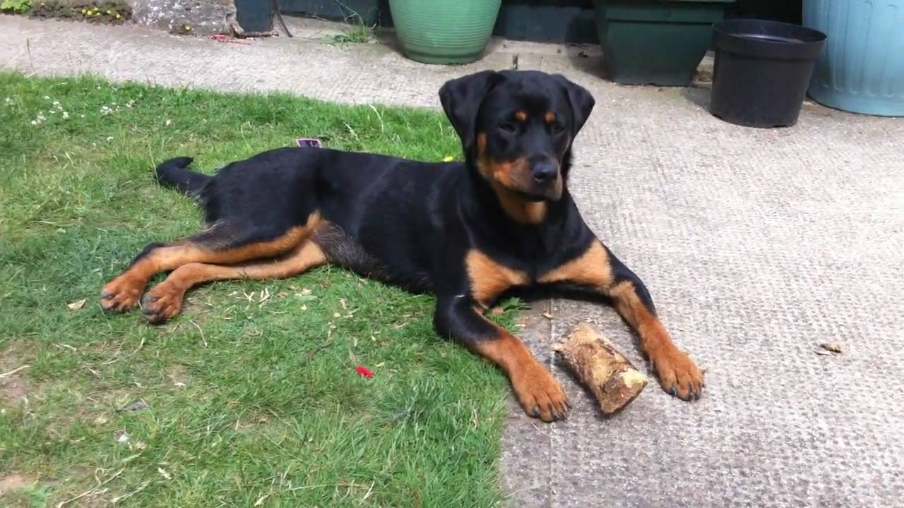 Rotterman Rottweiler And Doberman Pinscher Mix