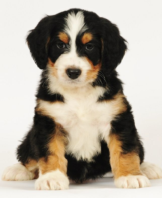 Bernedoodle mixed breed puppy