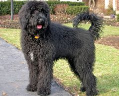 Bernedoodle  adult dog