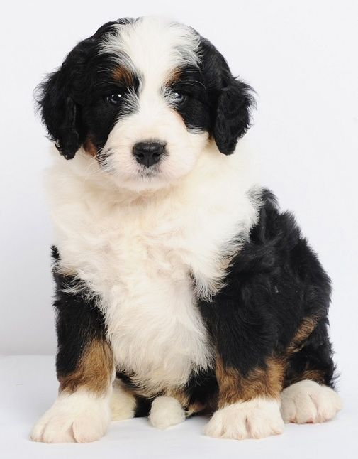 Bernese Mountain Dog Poodle Mix Puppies For Sale