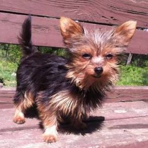Chorkie Mixed Breed Designer Mixed Breed Dogs