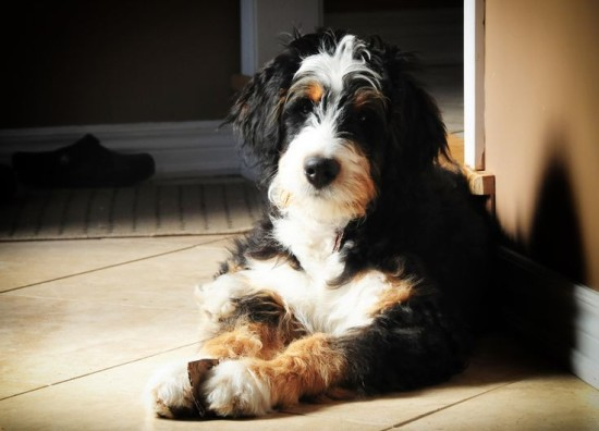 Bernedoodle Mix Breed